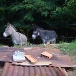 Voici les ânes de l'atelier, Casquette et Biscotte!